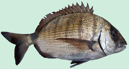 karagöz balığı ile ilgili görsel sonucu